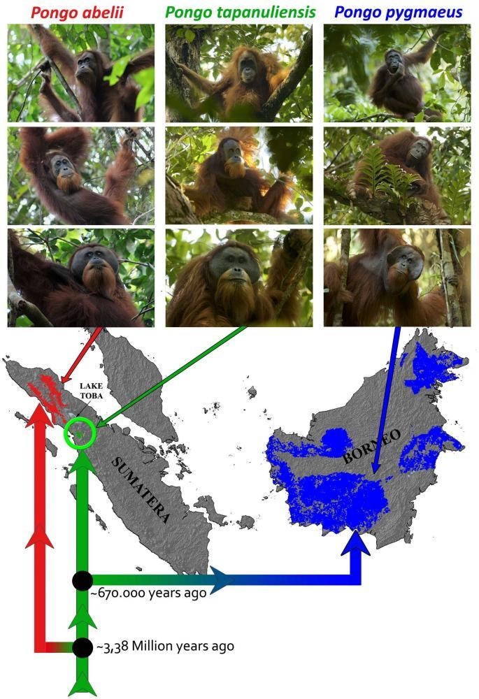 Persamaan dan perbedaan orangutan tapanuli dengan orangutan kalimantan dan orangutan sumatera. Foto dok. di batangtoru.org