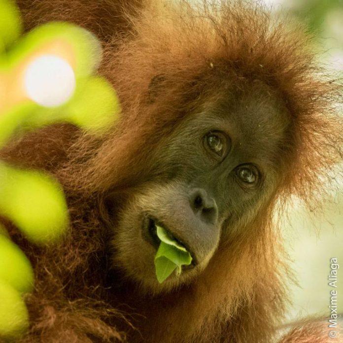 Pongo Tapanuliensis. Foto dok. Maxime Aliaga