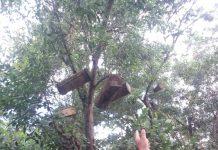 Dayu Rompe ketika menujukkan sarang lebah madu milik bapak Asmandi, beberapa waktu lalu. Foto Monga.id/IST