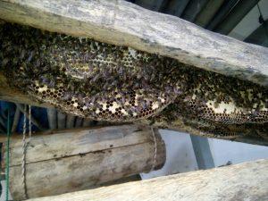 Lebah hutan yang bersarang di ruas kayu. Foto dok. Monga.id/IST